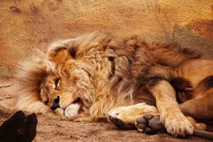 lying-lion